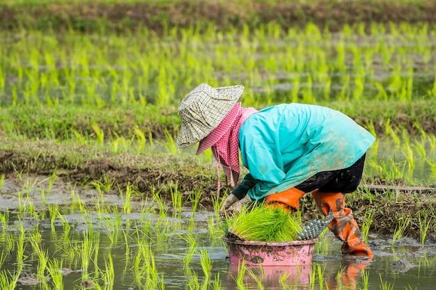 Азиатская фермерская пересадка рисовых саженцев в рисовом поле, фермерская посадка риса в дождливом море