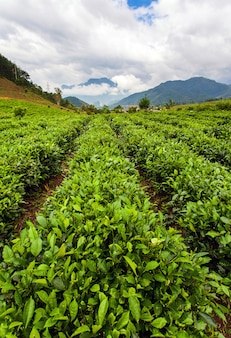 Зеленый чай плантации пейзаж