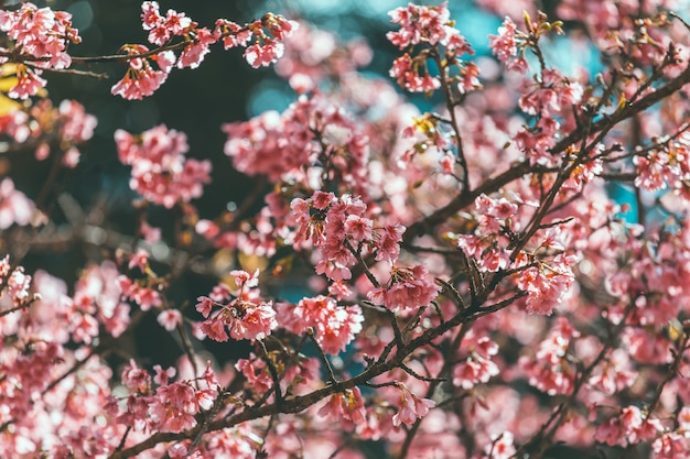 桜と桜壁紙