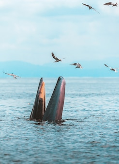 Кит брайда, кит эдема, едят рыбу в сиамском заливе