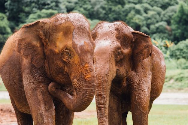 タイの深い森で自然の中でアジア象