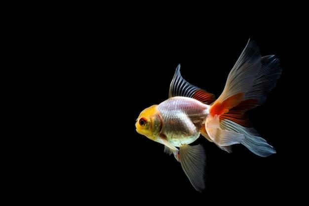 暗闇の中で分離された金魚