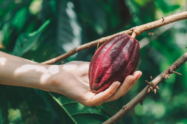 カカオの木(テオブロマカカオ)。自然の中で有機性ココアフルーツポッド。