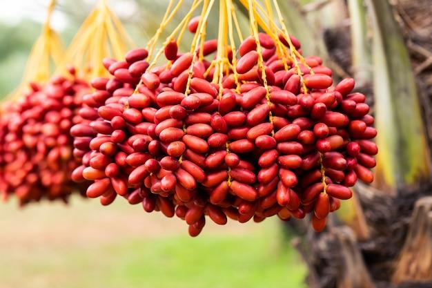 熟した日付を持つナツメヤシの枝