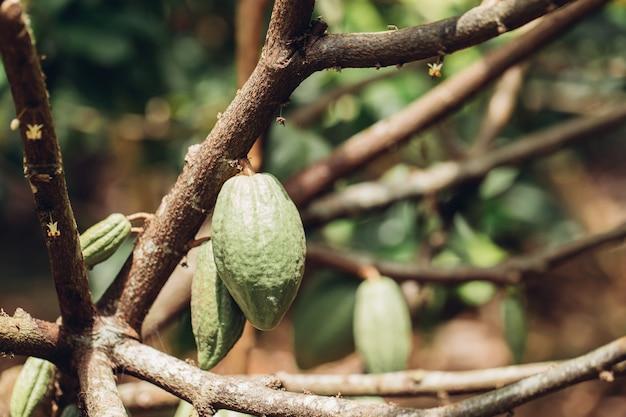 カカオの木(テオブロマカカオ)。自然の中でココアフルーツのさや。