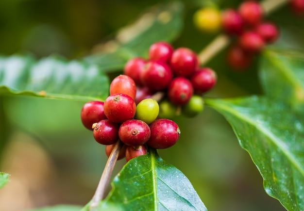 Кофе в зернах созревания на дереве в северной части таиланда