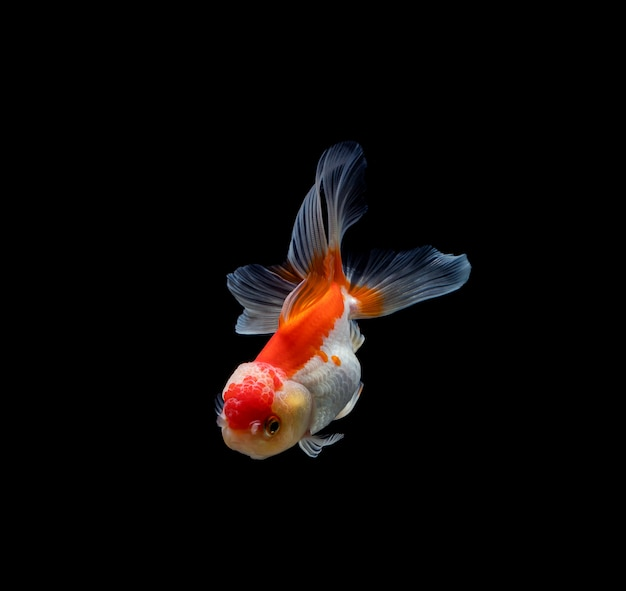 Золотая рыбка, изолированная на темном черном фоне