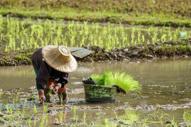 Азиатский фермер пересаживает саженцы риса на рисовом поле, фермер