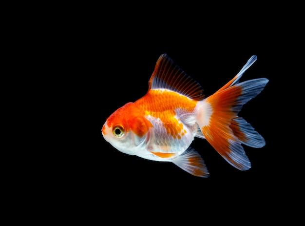 金魚は暗い黒の背景に
