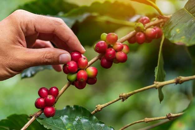 Кофейные зерна созревания на дереве на севере таиланда