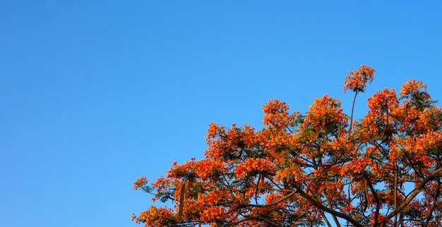 Оранжевая королевская пуансана с голубым небом