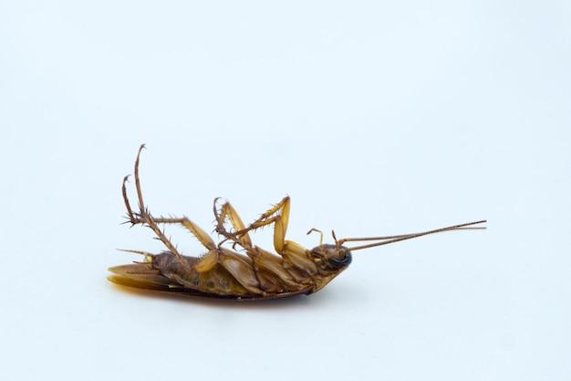 白で隔離された死んだアジアゴキブリ
