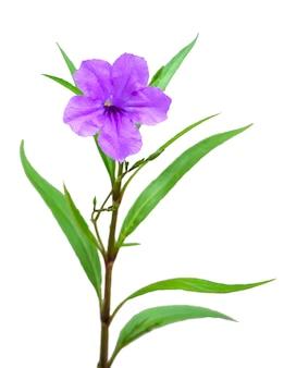 Один фиолетовый цветок на белом