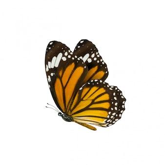 Обыкновенная тигровая бабочка