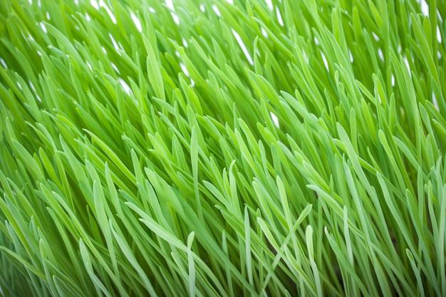 猫のための新鮮な緑の草のクローズアップ。猫草