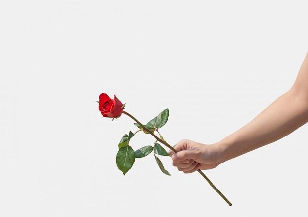 Женская рука держит одну красную розу на белом фоне