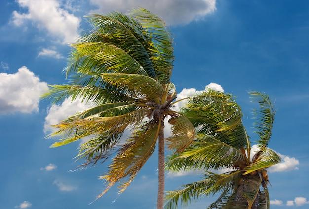 ココナッツの木