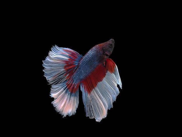 Действие боковое тело сиамских боевых рыб плавать в воде на черном