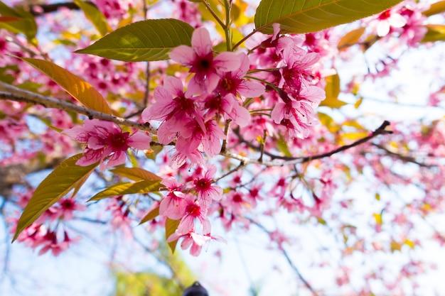 ワイルドヒマラヤ桜