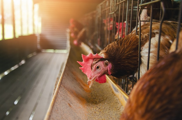 鶏の鶏、養鶏場の鶏肉