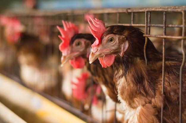 鶏の鶏、家畜養殖場の鶏の養鶏場