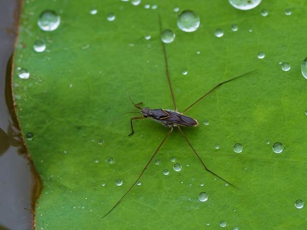 水滴の横にある蓮の葉のアメンボ