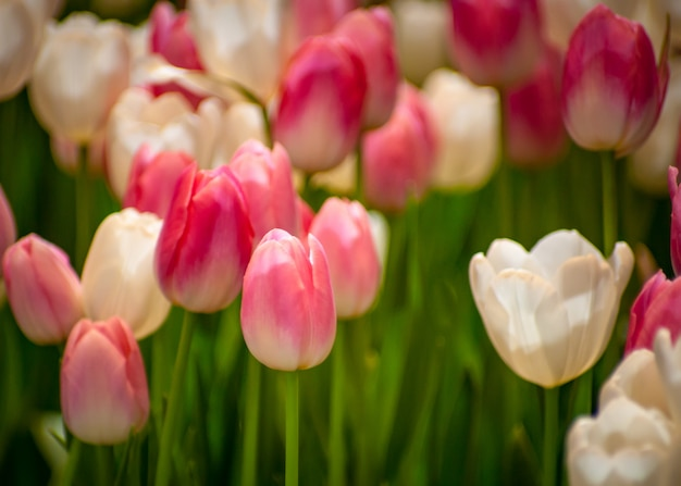 Цветы тюльпана в саду