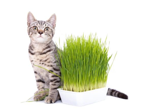 燕麦種子によって成長している新鮮な緑の芝生を食べるスコティッシュフォールド猫