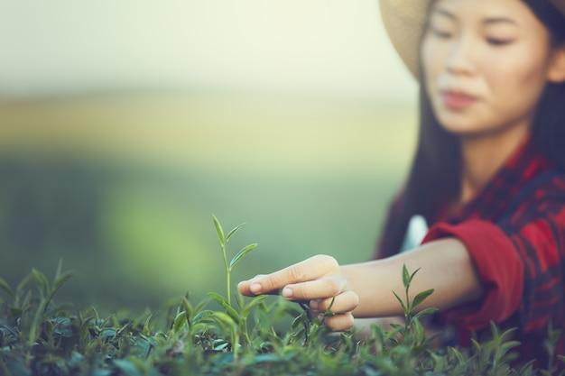 茶葉を収穫する若い女性、タイ