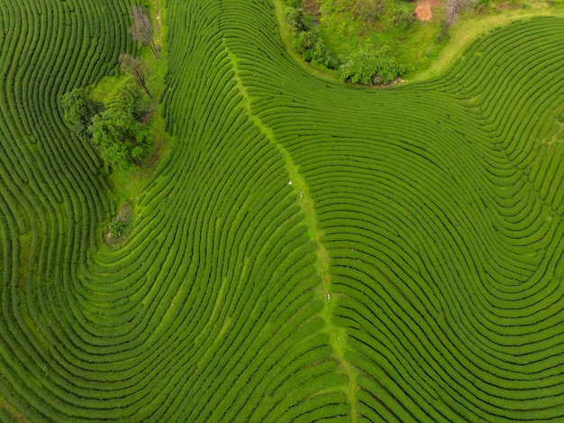Сельскохозяйственный район сельхозугодий плантатора зеленого чая на горе чианг рай таиланд с высоты птичьего полета от беспилотный