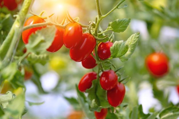 収穫する準備ができて有機温室の庭で新鮮な熟した赤と黄色のトマト農園の成長の農業。