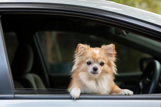 車の中でかわいい犬が座っています。