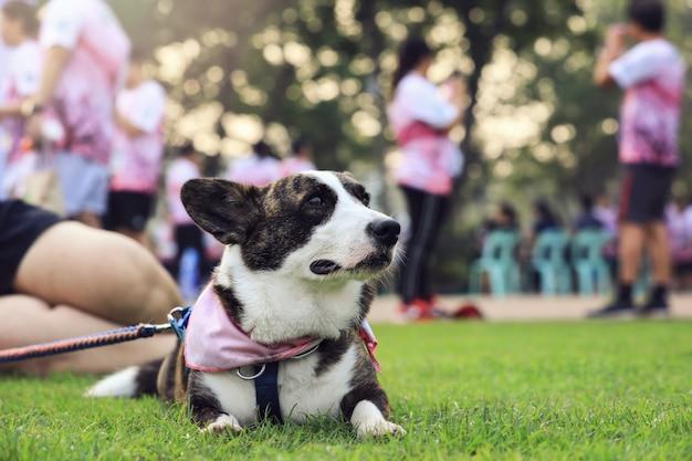 実行中のコンテストの後、公園の緑の芝生に横たわって舌を出したペンブロークウェルシュコーギー犬の肖像画。