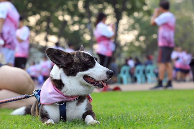 コンテストを実行した後、公園のコンクリートの床に横たわっているペンブロークウェルシュコーギー犬の肖像画。