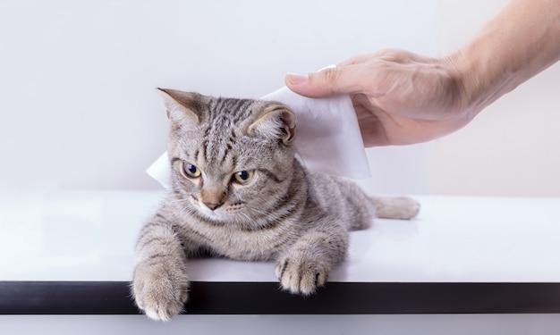 Чистка шерсти кота малышом вытирает влажные салфетки, изолированные на белой стене