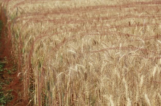 黄金の大麦はチェンマイタイで鳥を保護するためのネットで覆われています。