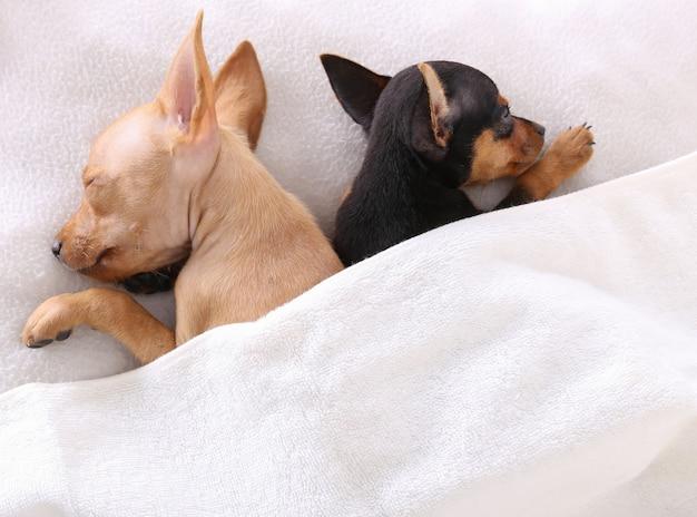 ベッドで毛布の下で一緒に寝る犬のカップル