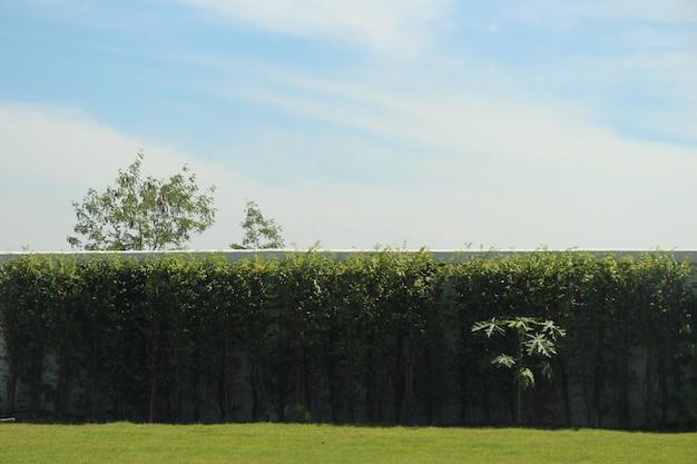 青い空の背景と木の植物の壁