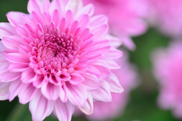 Цветущая розовая хризантема крупным планом для любви