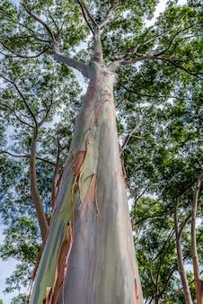 Красочное и высокое радужное эвкалиптовое дерево на оаху, гавайи
