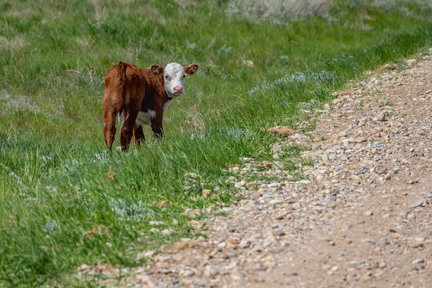カナダのサスカチュワン州の芝生の中で一人で立っている赤ちゃんのヘレフォード牛