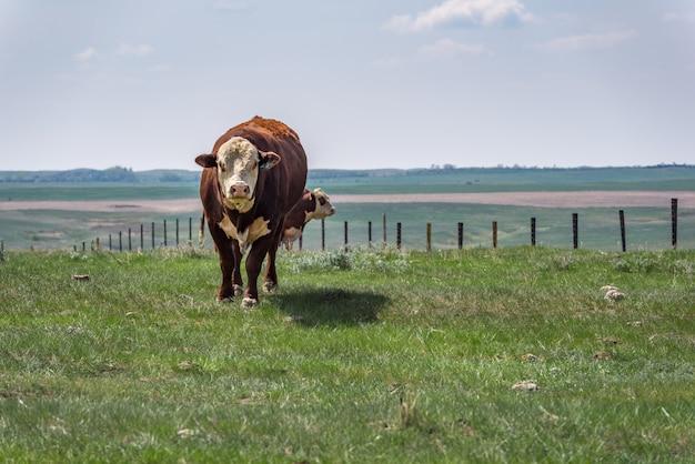カナダのサスカチュワン州の大草原の牧草地で立っていると放牧のヘレフォード牛