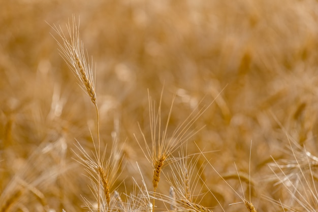 Крупный план голов твердой пшеницы в поле сбора на прериях в саскачеване, канаде
