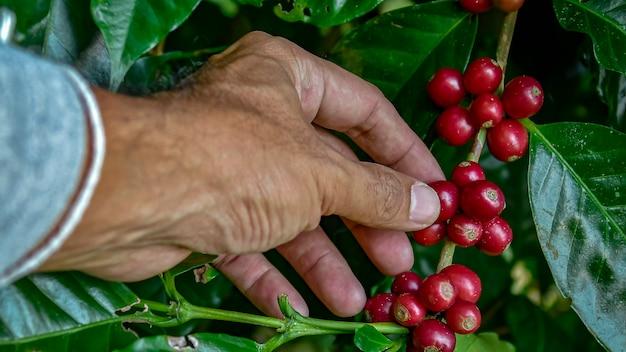 熟したチェリー豆を選ぶ農家。収穫のための熟したサクランボ豆を選ぶコーヒー農家