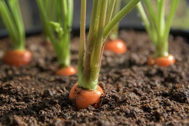 キャロットの野菜は、土壌の有機的な背景のクローズアップで庭で成長する