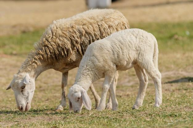 家畜農場、羊の群れ