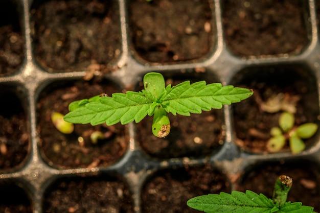 マリファナの種子から成長、若い植物ショット