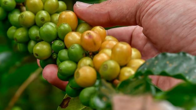 木の上のコーヒー豆