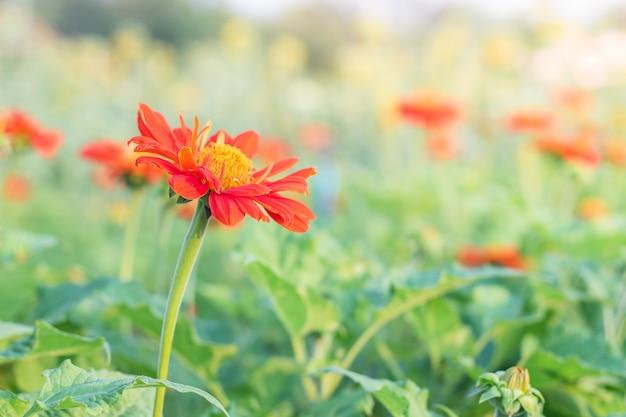 美しさの色の花クローズアップ、デイジーの花