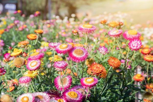 Цветочное поле, красивые цветы в садовом фоне, садовые цветы весеннего сезона теплые тона